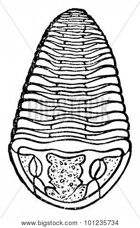 Trilobite, vintage engraved illustration. Earth before man 1886.