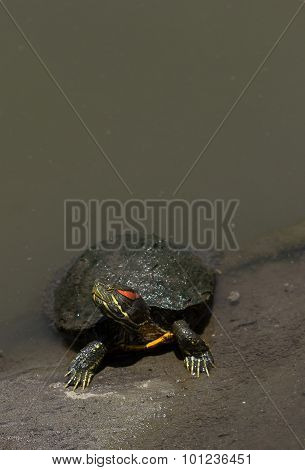 Red eared slider turtle, Trachemys scripta