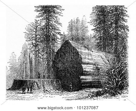 Redwood, vintage engraved illustration. La Vie dans la nature, 1890.