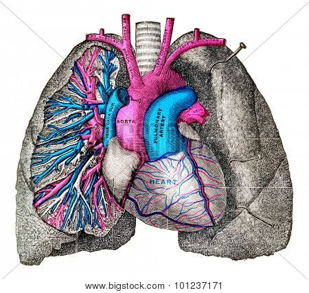 The pulmonary artery and aorta, vintage engraved illustration.