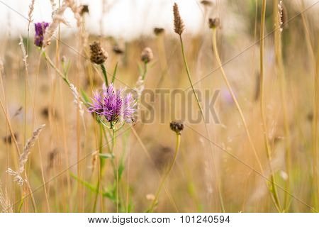 Purple Knapweed Flower with bokeh