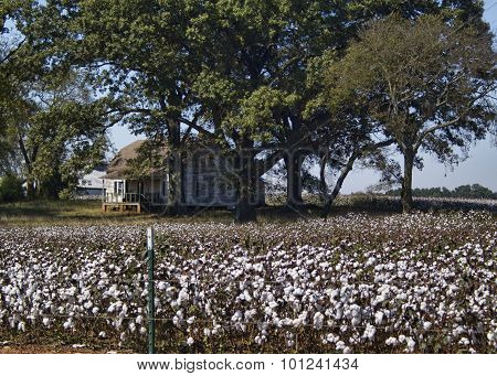 Alabama Cotton Field Crops and Old Farm House