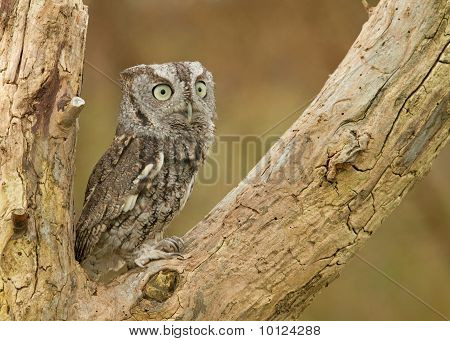 Little Gray Eastern Screech Owl