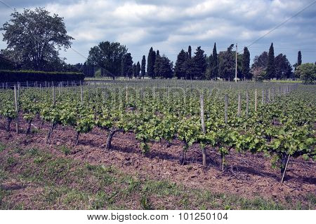 Grapes Landscape