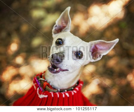 a cute italian greyhound dressed in a red sweater smiling at the camera in a park setting during later summer or early fall on a sunny day