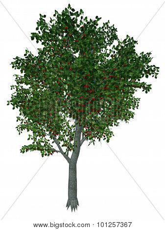 Sweet or wild cherry tree - 3D render