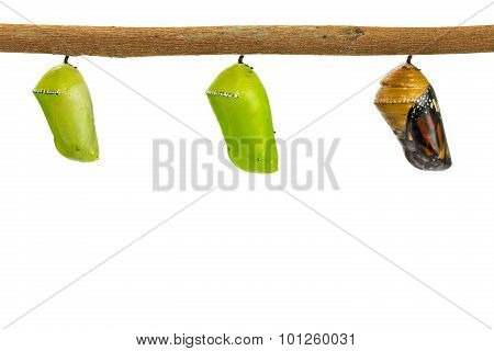 Common Tiger Pupae