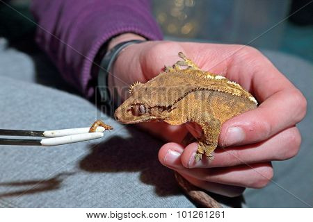 Feeding Of Captive Crested Gecko