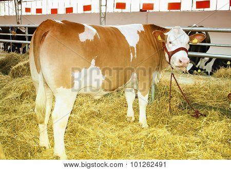 one big Cow On the Farm