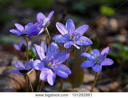 Hepatica Spring Flower