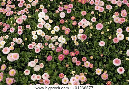 Bellis Perennis Daisies - Cultivation
