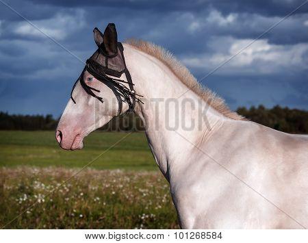 Akhal Teke Horse