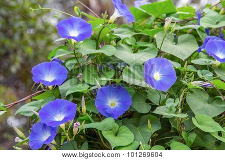 Blue Colored Morning Glory Flowers.