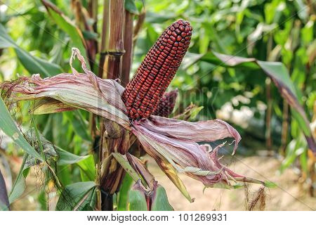 Purple Corn on cob.