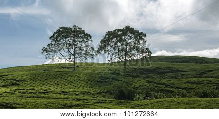 vast tea gardens and green in the hills