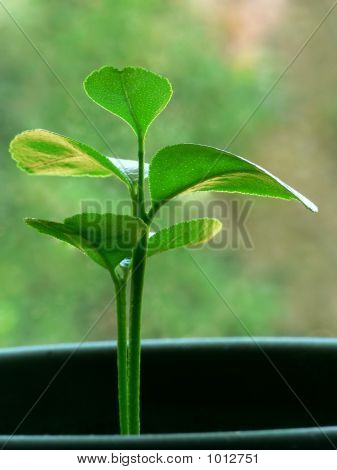 Citrus Seedling