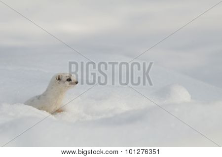 Alone Winter Least Weasel In Temporal Snow Burrow
