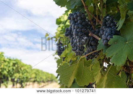 Blue Grapes Vineyard