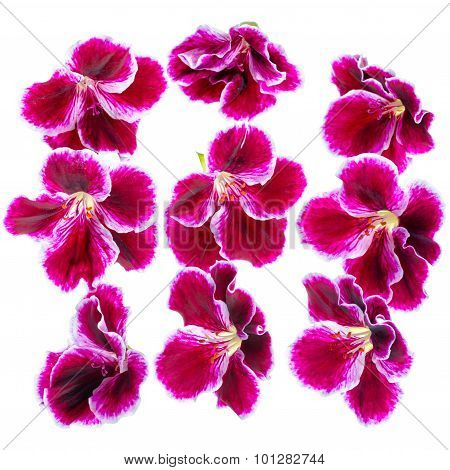 Beautiful Blooming Dark Purple Geranium Flower Like As Background Is Isolated On White. Royal Pelarg