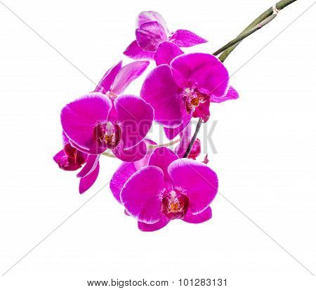 Blooming Branch Of Dark Violet Orchid With White Bandlet