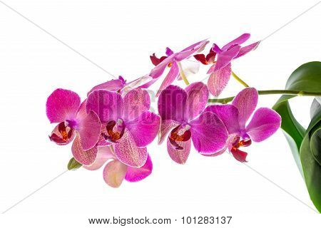 Blooming Branch Of Violet Orchid With Leaves, Phalaenopsis Is Isolated On White Background, Closeup