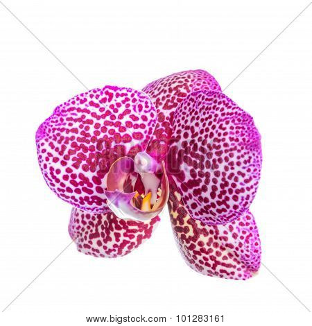 Beautiful Lilac Spotted Orchid, Phalaenopsis Is Isolated On White Background, Closeup