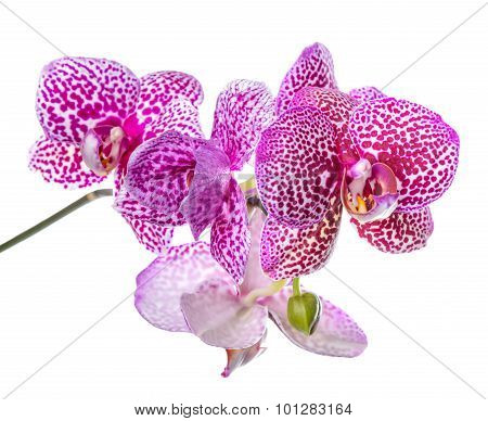Blooming Branch Of Beautiful Lilac Spotted Orchid, Phalaenopsis Is Isolated On White Background, Clo