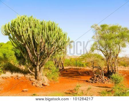 Candelabra Euphorbia Tree Euphorbia Candelabrum, Kenya