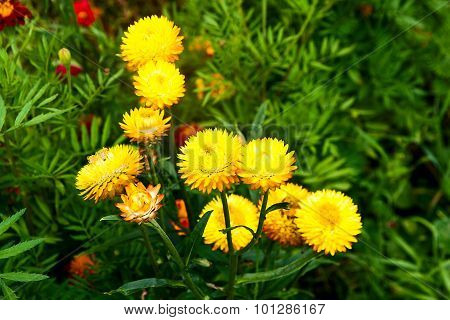 Yellow Helichrysum Paper Daisy Straw Flower.