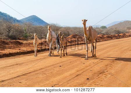 Camels In Kenya