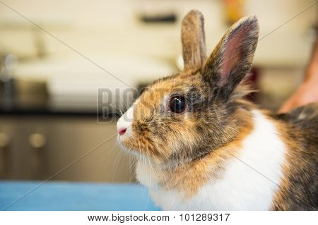 Rabbit on the table at the veterinarian