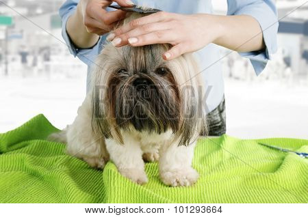 Cute Shih Tzu and hairdresser in barbershop