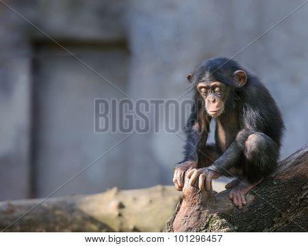 Little Chimpanzee In Deep Thoughts Or Meditation