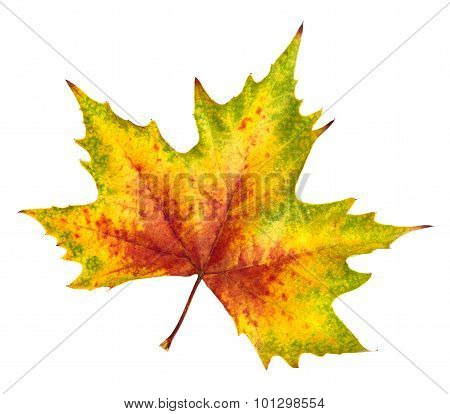 Beautiful Autumn Leaf, Rich In Color And Detail