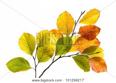 Colorful Beech Tree Leaves Isolated On White