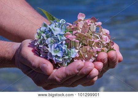 Hydrangea Blossoms In A Mans Hand