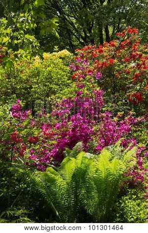 Rhododendrons And Fern In The Garden