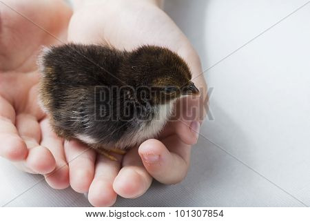 Bantam Chick in Child's Hands