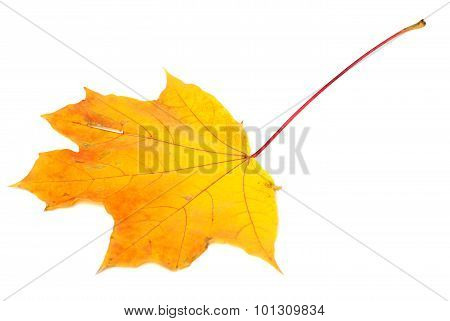 Orange Autumn Maple-leaf On White Background