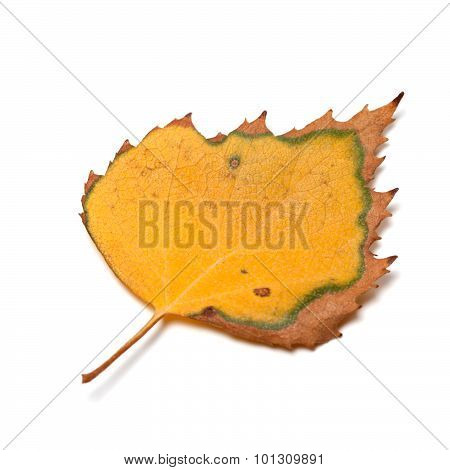 Dried Autumn Leaf Of Birch On White Background