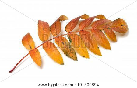 Autumn Rowan Leaf