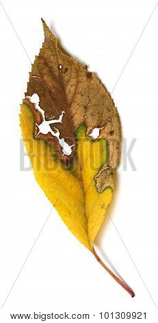 Dried Autumn Leaf With Holes