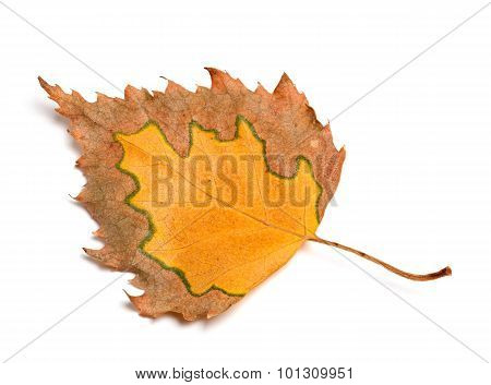 Autumn Birch Leaf Isolated On White Background