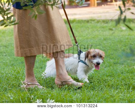 Dog That Pulls The Leash Of Elderly Owner.