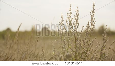 grain field with wheat or rye ready for harvest