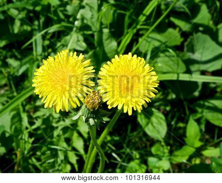 Two yellow coltsfoot flower and foliage