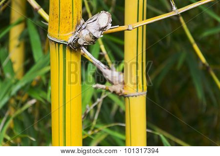 Yellow Reeds In A Bamboo Forest