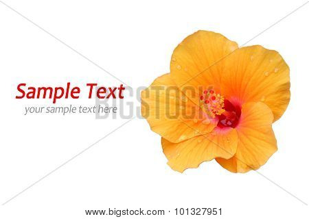 Yellow Hibiscus on white