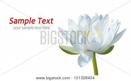 White waterlily on white