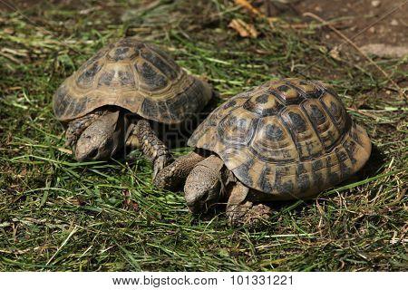 Eastern Hermann's tortoise (Testudo hermanni boettgeri). Wild life animal.